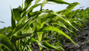 Monsanto has submitted a new genetically modified corn to the USDA for approval. This corn is resistant not only to Roundup but to another, even more toxic pesticide called dicamba.