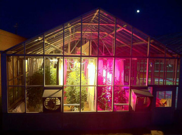If you want greenhouse tomatoes that use less energy, ask whether they were grown with LED lights.