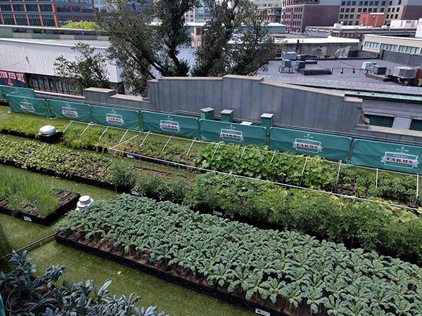 Fenway Farms is producing 4,000 pounds of fresh fruits, veggies, and herbs on the rooftop of the baseball stadium.