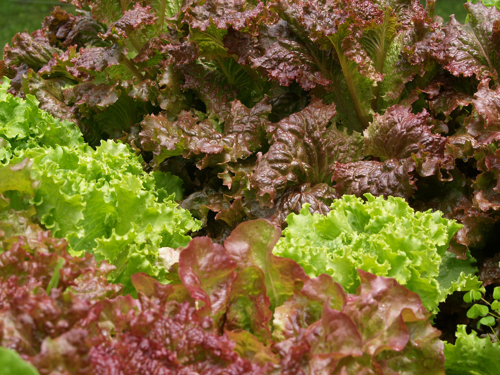 green, dark red, and red lettuce